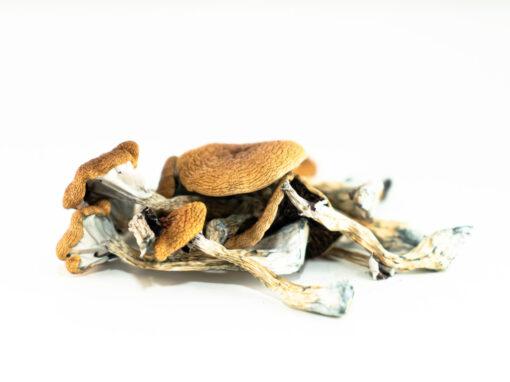 Buy Brazilian Magic Mushroom Online