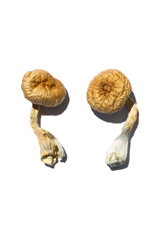 Buy Cambodian Gold Magic Mushrooms Online