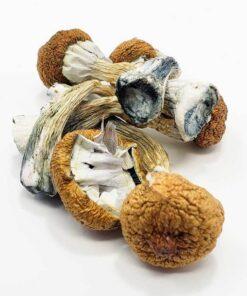 Blue Meanie Mushroom For Sale